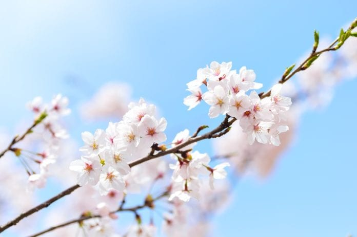 Japan - Cherry Blossom